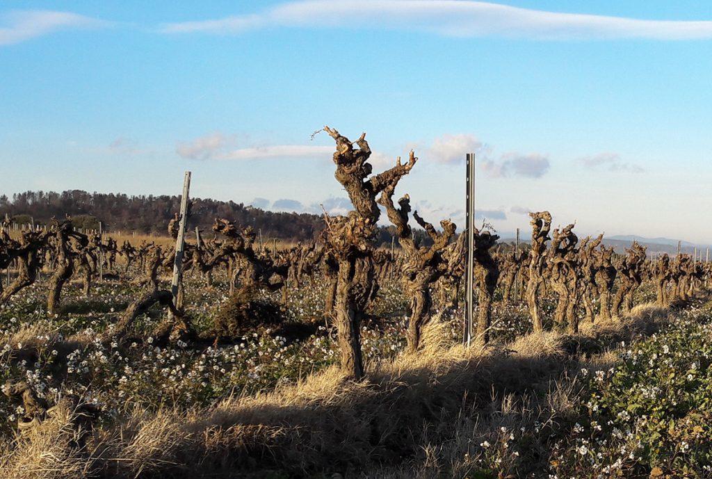 vieilles vignes grenache